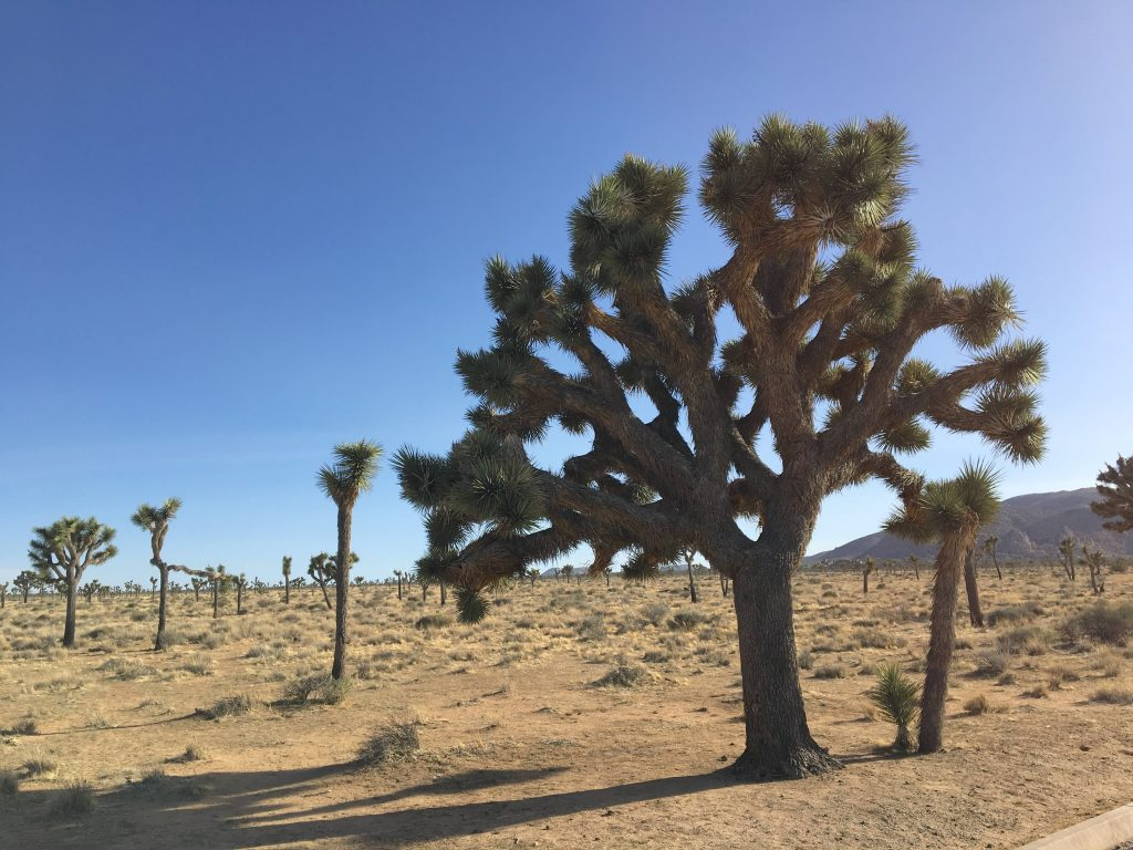 west coast swing joshua tree